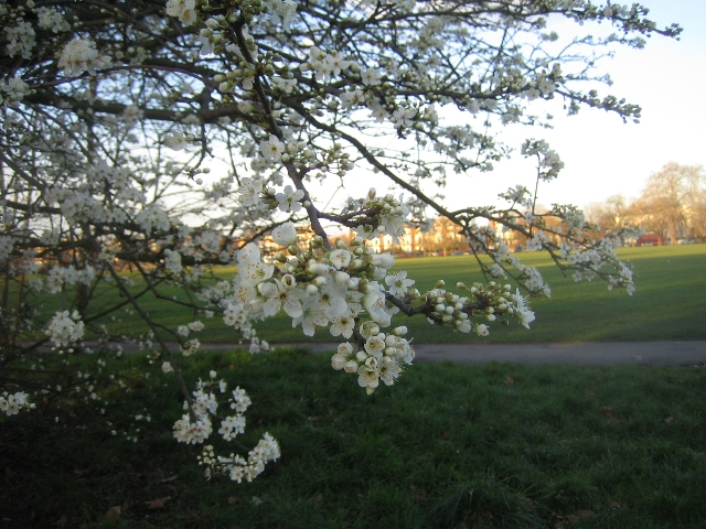 Blossom time on the Common