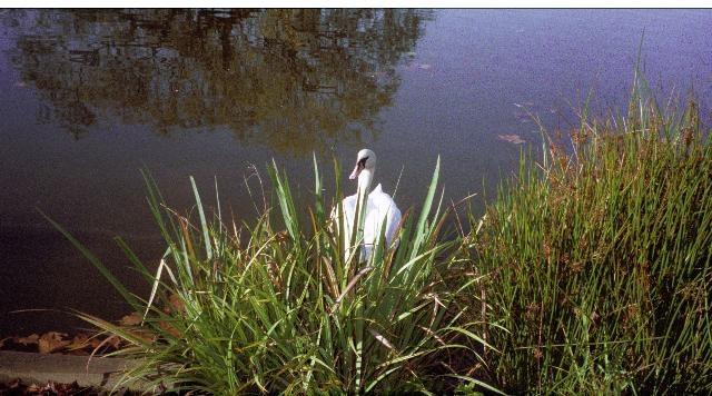 Swan in Reeds