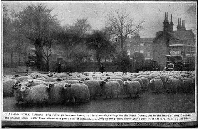 A flock of sheep in Old Town,