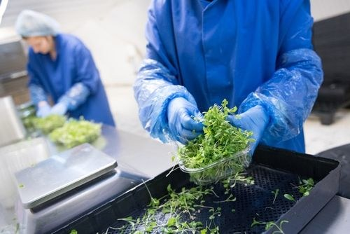 Packing salad leaves